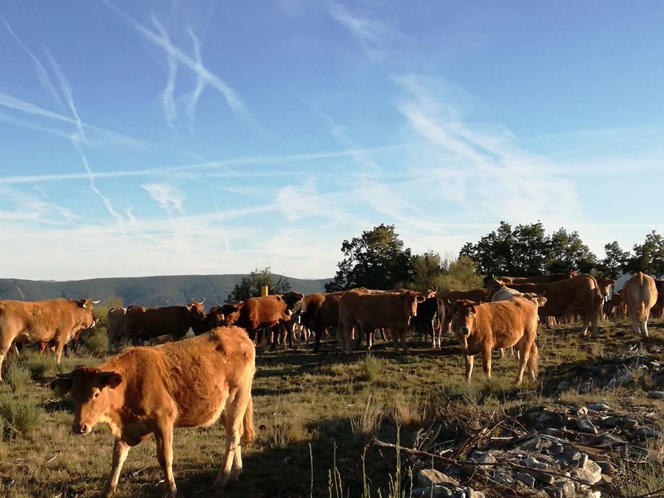 フォンセバトン牛