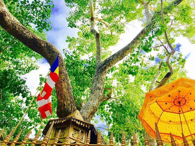 スリーマハー菩提樹3